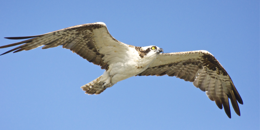Are You An Osprey In Your Real Estate Business?